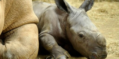 save the rhinos